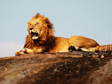 Leadership-Skills-to-Learn-from-the-King-of-the-Jungle